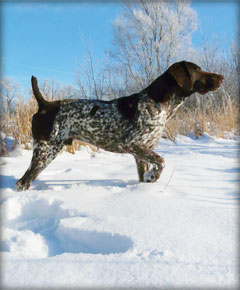 Speed male German Shorthaired Pointer