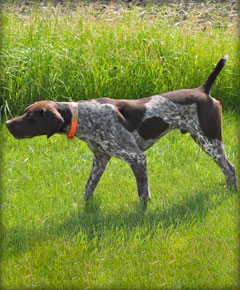 Rock male German Shorthaired Pointer