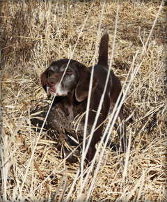 Polly female German Shorthaired Pointer