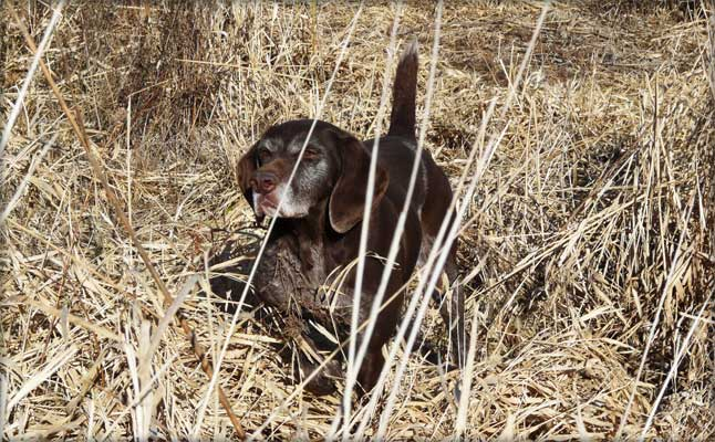 Polly female German Shorthair